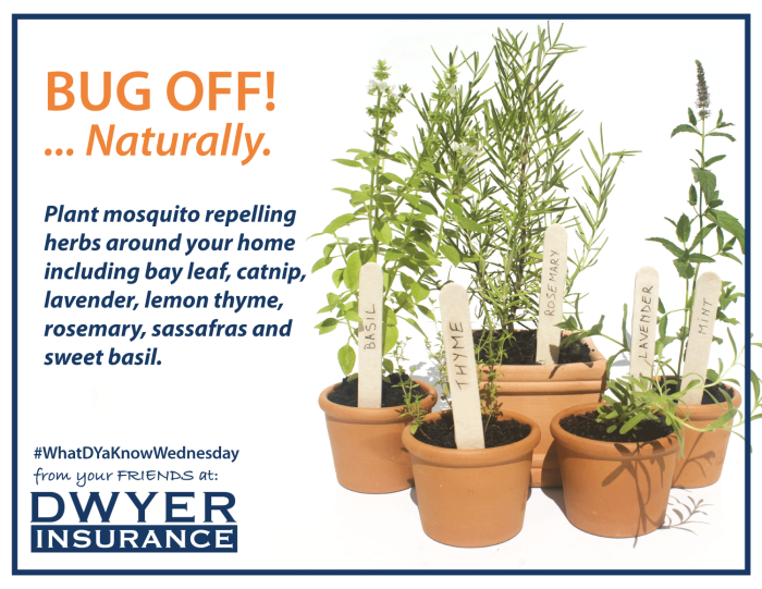 Plant mosquito repelling herbs around your home including bay leaf, catnip, lavender, lemon thyme, rosemary, sassafras and sweet basil.