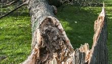 Large fallen tree