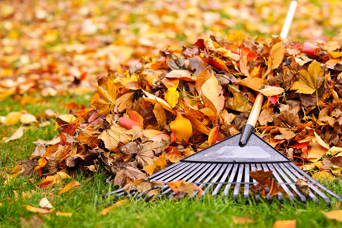 Rake with autumn leaves